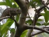 Kameleon pakt insekt met tong