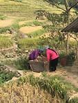 Black Hmong oogsten hun rijst