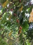 groeiende koffiebonen