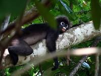Chillende aap op Perhentian Island