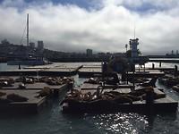 Zeeleeuwen - Pier 39