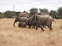 Olifanten familie
