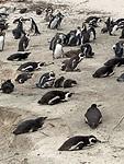 Pinguïns bij Boulders
