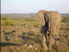 Vrije olifant