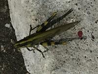 15 cm lange levende sprinkhaan, smakelijk !