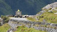 Healy pass schapen kudde