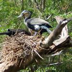 Comorant in nest