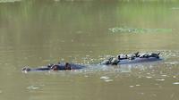 nijlpaard met schildpadden op z'n rug
