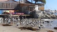 Pelikanen krijgen visafval