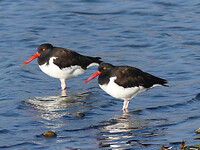 Black and white oystercatcher (Scholekster)