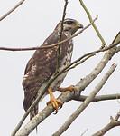 Common black hawk