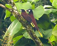 Montezuma Oropendola koppel