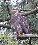 Bold eagle juvenile