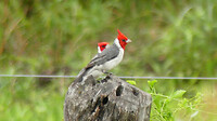 Red crested cardinaal