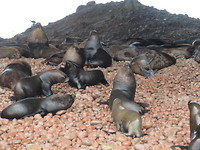 Kudde zeeleeuwen