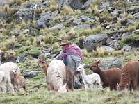 vicuña herder