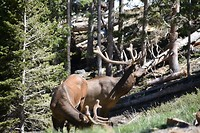 Elks in de Rocky Mountains