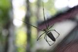 Klein spinnetje (20 cm) naast onze cottage in de jungle van Borneo