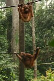 Orang oetangs tijdens voedertijd in de jungle