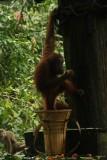 Orang oetang grijpt een banaantje uit de voedermand