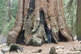 Grootste boom ooit