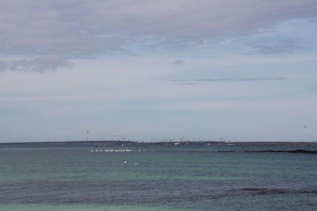 Een groep blauw voet jan van genten duikt in het water naar vis