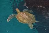 Deze schildpadden hebben we wel met 10 tegelijk gezien tijdens het snorkelen, niet normaal