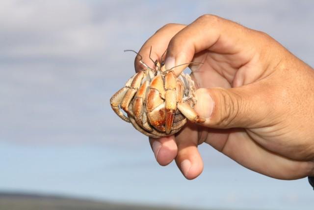Hermietkreeft, honderden krioelden er daar op het strand als mieren