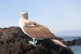 Blue footed boobie!!!
