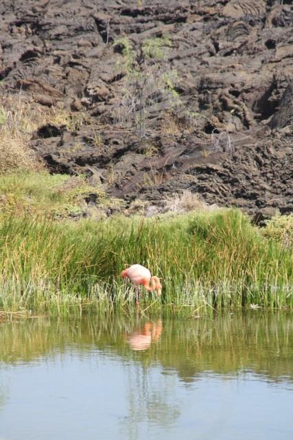 Knalroze flamingo tussen al dat zwarte lava