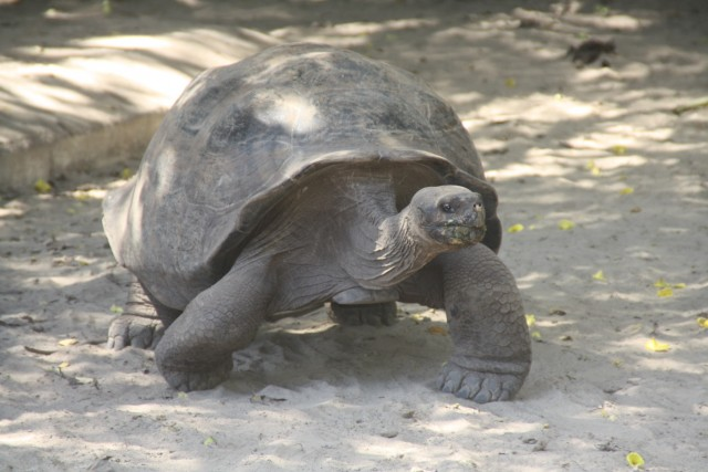Landschildpad, deze worden beschermd, niet tegen andere dieren maar de inwoners, ze aten ze op