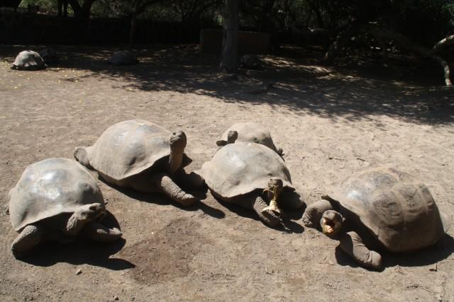 Groepje landschildpadden