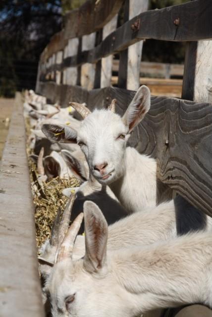Geitjes op de kaasboerderij