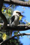 De kookaburra