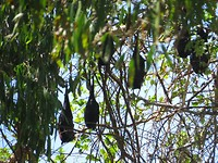 Slapende flying foxes