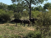 buffels