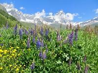 lupines voor de Monte Cervino