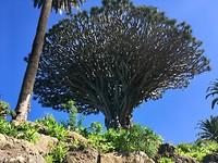 1000 jarige drakenboom