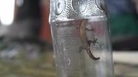 Gecko gevangen