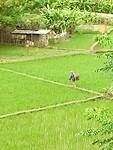 Een laatste foto van de rijstvelden