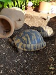 Schildpad bij ons appartement