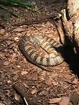 Tiger snake ( hier hadden wij vroeger weleens mee te maken)