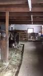 Koeien in de schuur bij het appartement