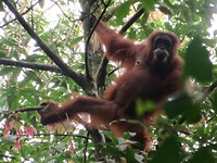 De eerste orang oetan die we zagen!