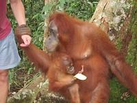 Orang oetan pakt Jap zijn hand