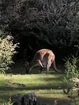 Kangoeroe achter onze tent in Halls Gap