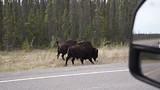 Bisons on Liard HIghway
