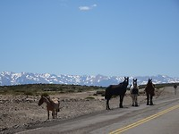 Geen beren maar paarden op de weg