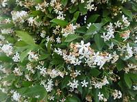 Overal hagen met deze witte bloemetjes die ik niet meer kan ruiken!