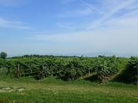 Druiven met rozenstruiken voor iedere rij